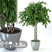 Ficus Ali en osier 3d model