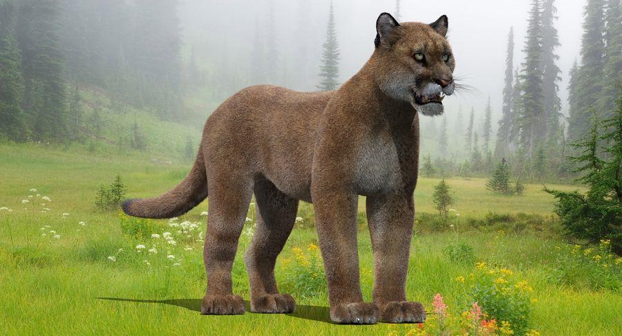 Puma (Fur) royalty-free 3d model - Preview no. 3