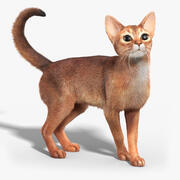 Abessinierkatze (FUR) (RIGGED) 3d model