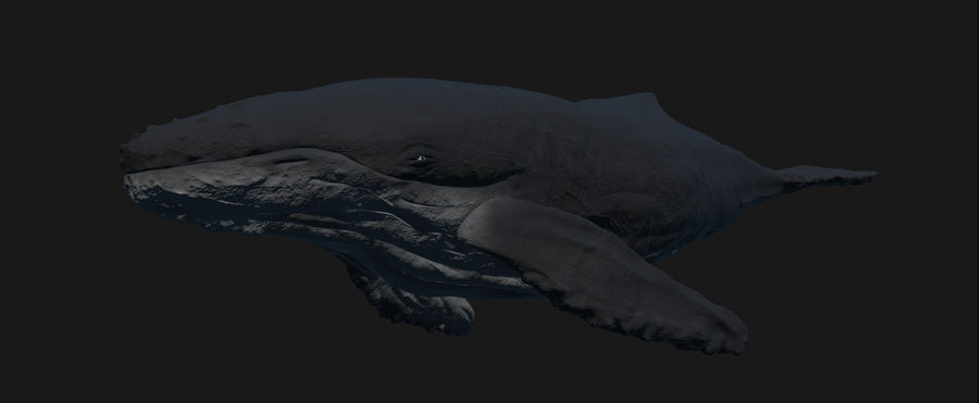 Baleine à bosse royalty-free 3d model - Preview no. 5