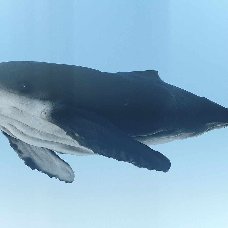 Humpback Whale royalty-free 3d model - Preview no. 3