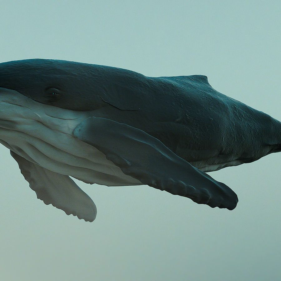 Humpback Whale royalty-free 3d model - Preview no. 1