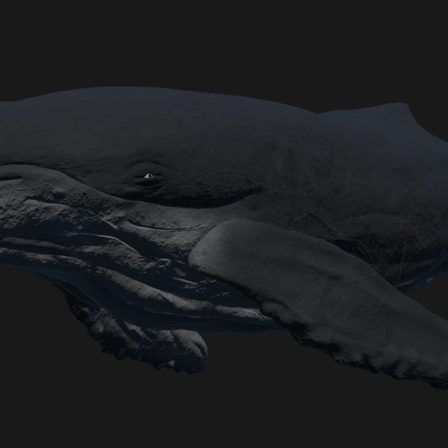 Humpback Whale royalty-free 3d model - Preview no. 5