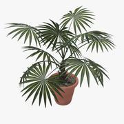 palm tree washingtonia robusta 3d model