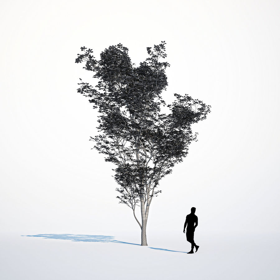 Harnbeam树(Carpinus Betulus)模型C. royalty-free 3d model - Preview no. 10