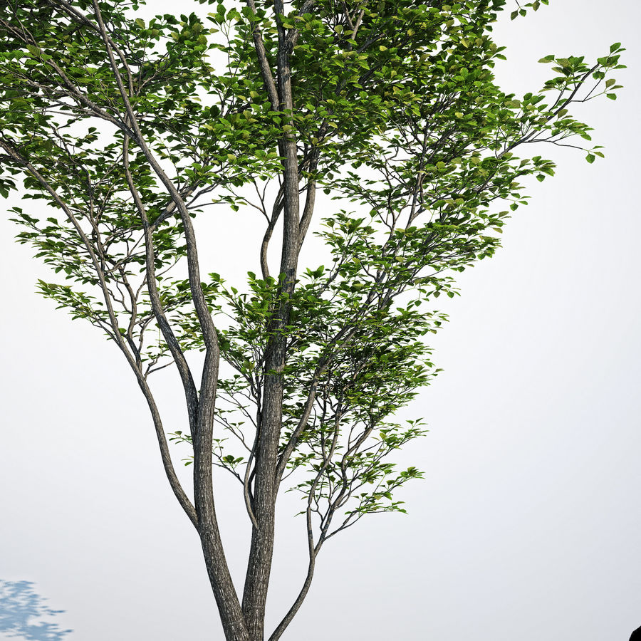 Harnbeam树(Carpinus Betulus)模型C. royalty-free 3d model - Preview no. 6