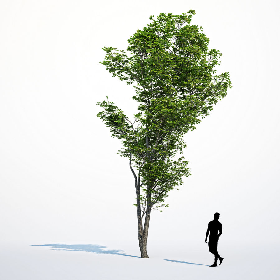 Harnbeam树(Carpinus Betulus)模型C. royalty-free 3d model - Preview no. 15