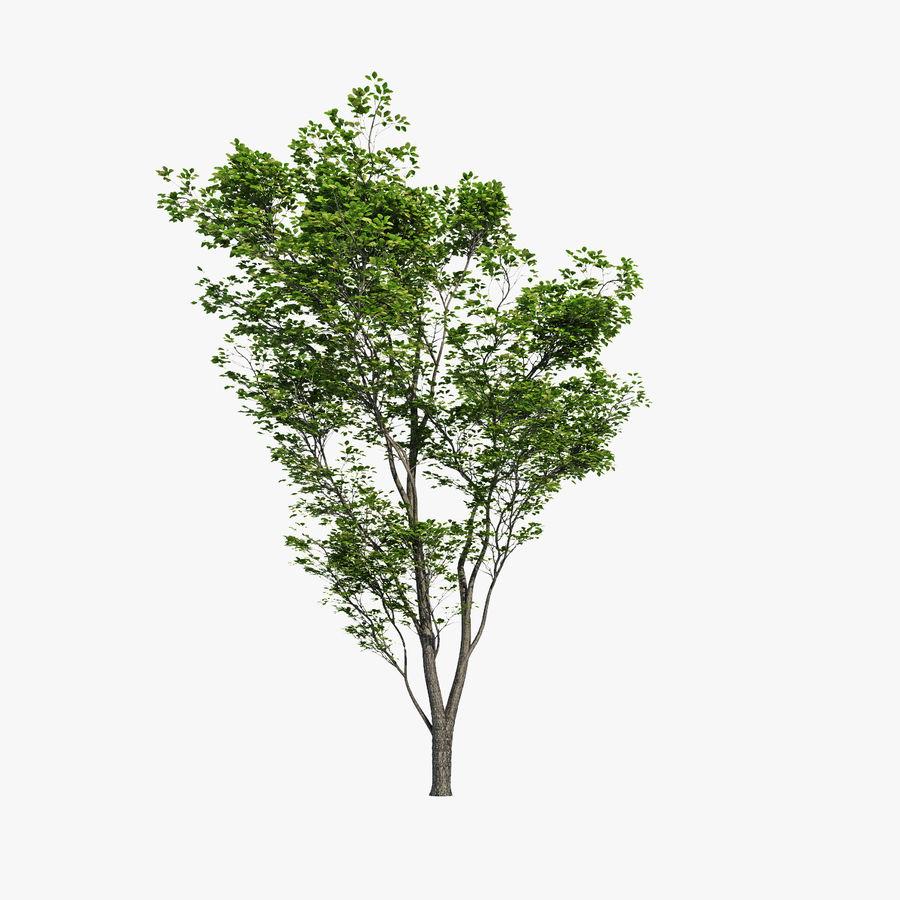 Harnbeam树(Carpinus Betulus)模型C. royalty-free 3d model - Preview no. 1