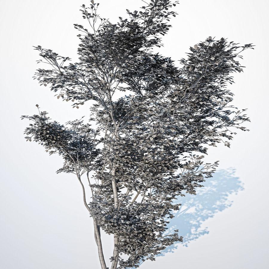 Harnbeam树(Carpinus Betulus)模型C. royalty-free 3d model - Preview no. 5