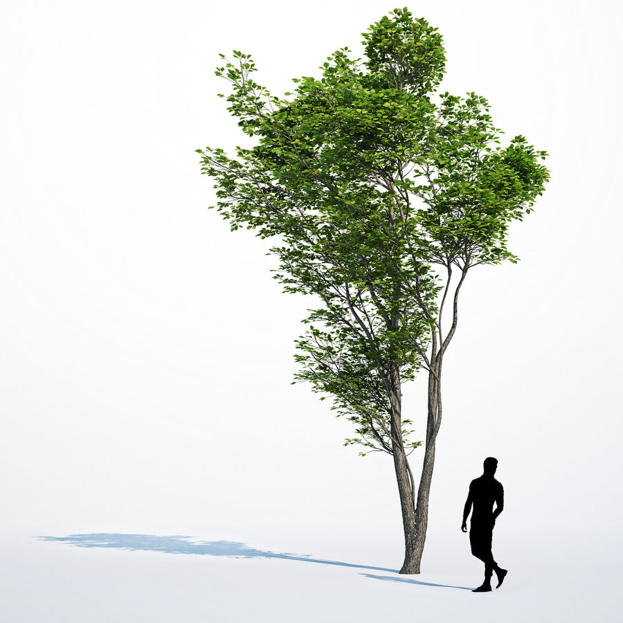 Harnbeam树(Carpinus Betulus)模型C. royalty-free 3d model - Preview no. 12