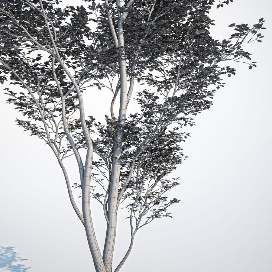 Harnbeam树(Carpinus Betulus)模型C. royalty-free 3d model - Preview no. 7