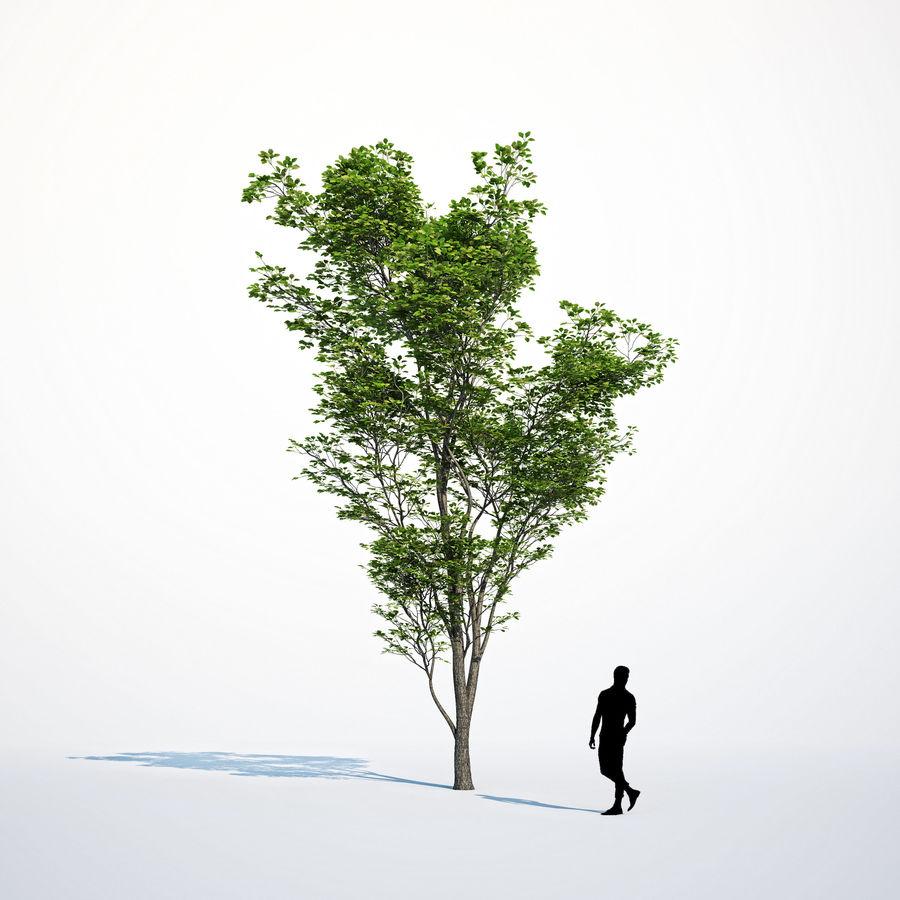 Harnbeam树(Carpinus Betulus)模型C. royalty-free 3d model - Preview no. 9