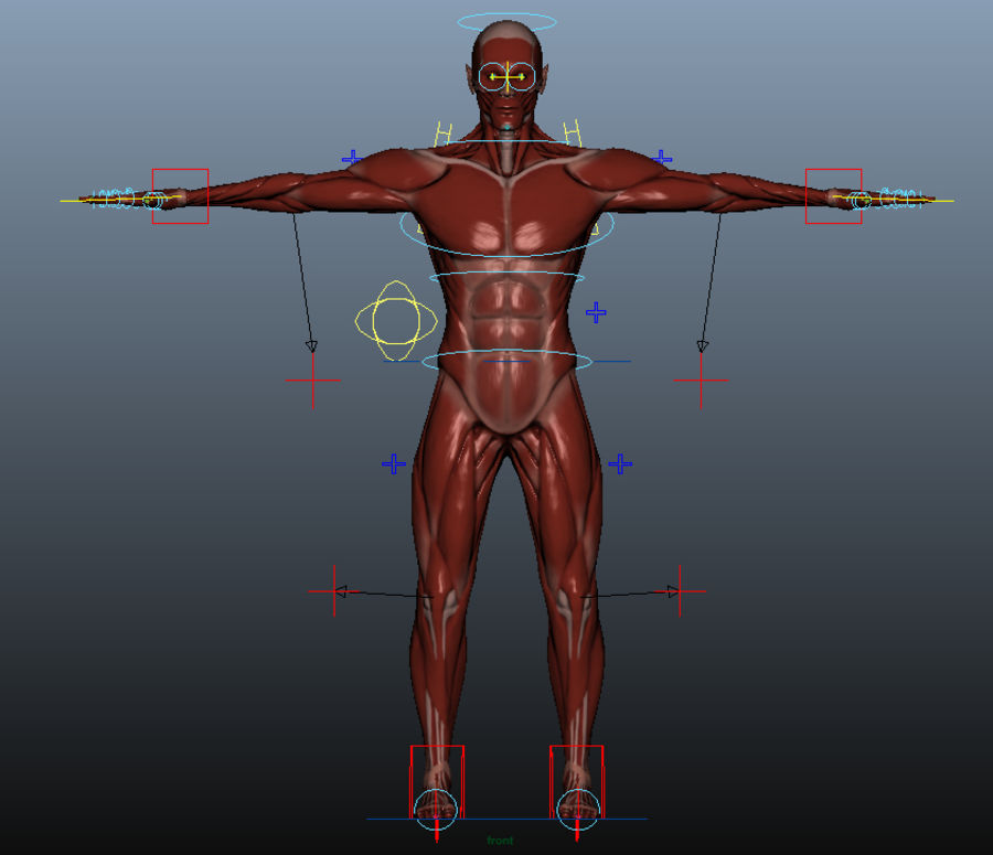 Anatomy Male Muscle Body Rigged 3d Model 39 Obj Free3d