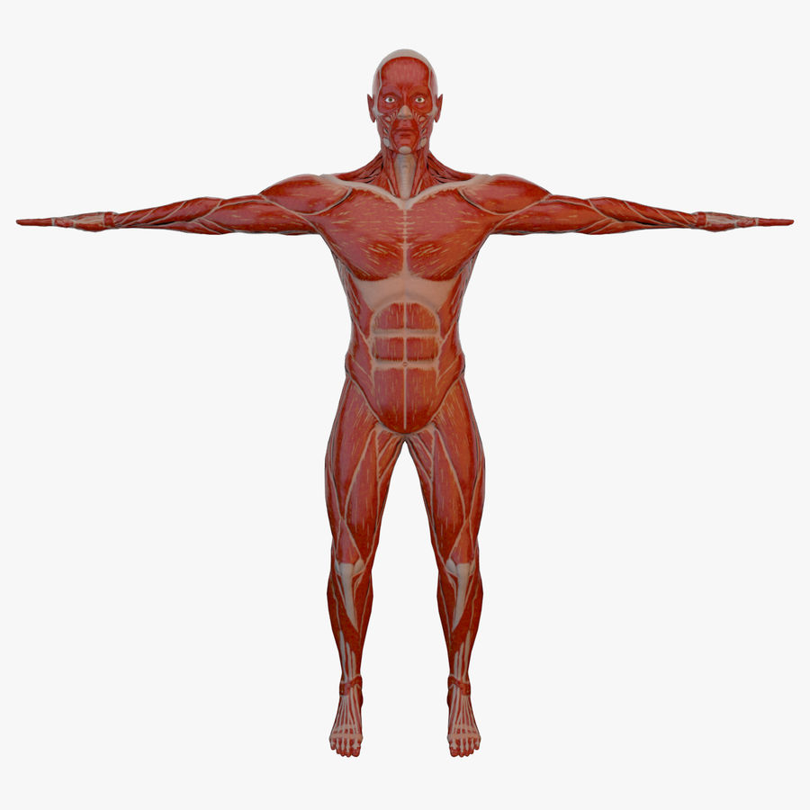 Anatomy Male Muscle Body (Rigged) 3D Model $39 - .ma .obj - Free3D