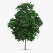 İsveçli Whitebeam Ağacı 8.7m 3d model