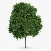 Common Whitebeam Tree 8.5m 3d model