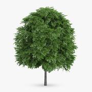 Common Whitebeam Tree 5.5m 3d model