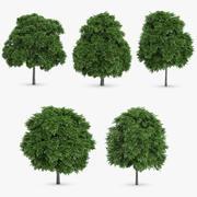 5 Common Whitebeam Trees 3d model