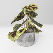 begonia 3d model