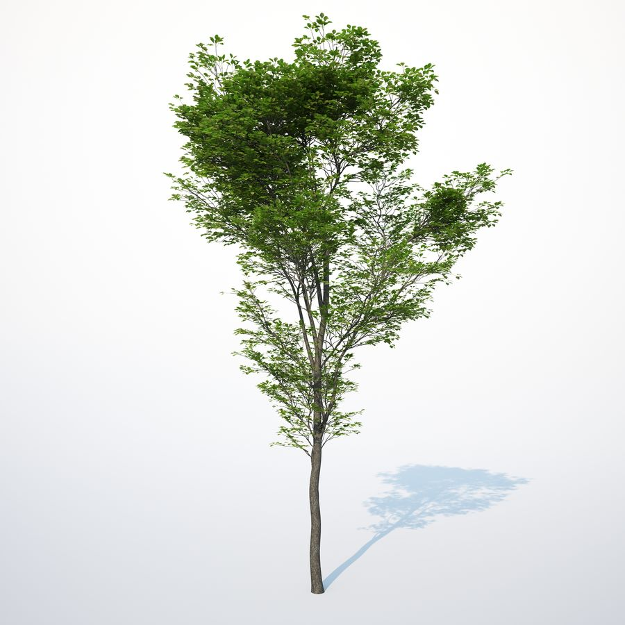 Harnbeam树(Carpinus Betulus)-B型 royalty-free 3d model - Preview no. 6