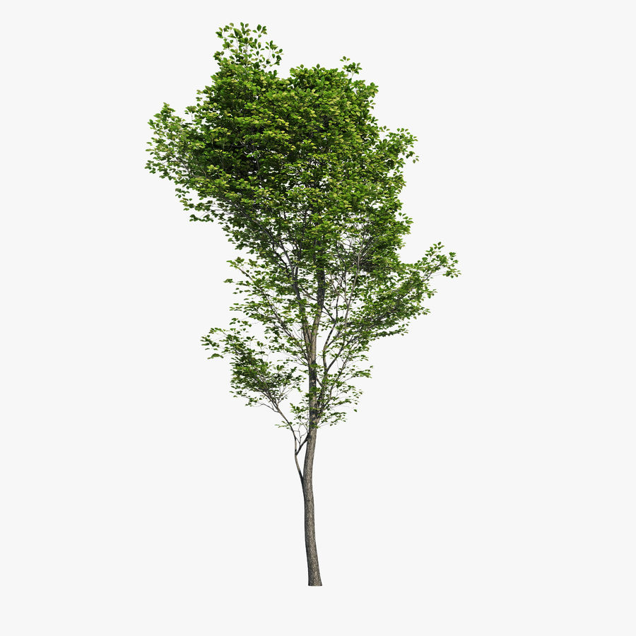 Harnbeam树(Carpinus Betulus)-B型 royalty-free 3d model - Preview no. 1