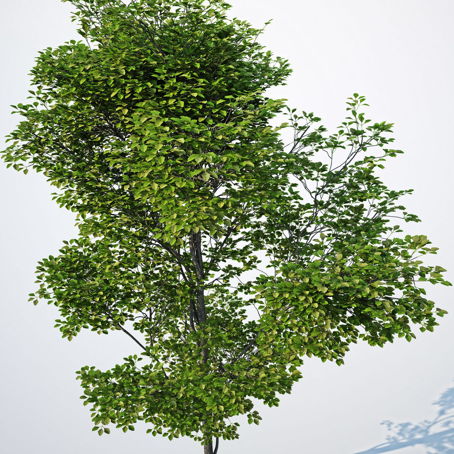Harnbeam树(Carpinus Betulus)-B型 royalty-free 3d model - Preview no. 7