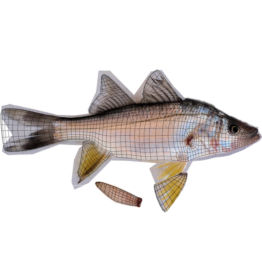 Yellowfin Snook royalty-free 3d model - Preview no. 11