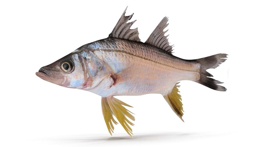 Yellowfin Snook royalty-free 3d model - Preview no. 2