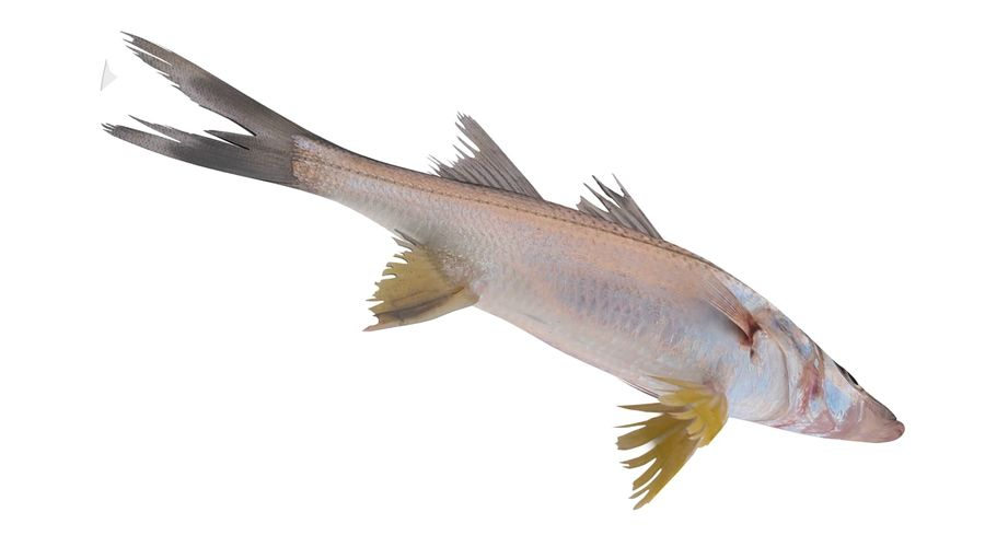 Yellowfin Snook royalty-free 3d model - Preview no. 6