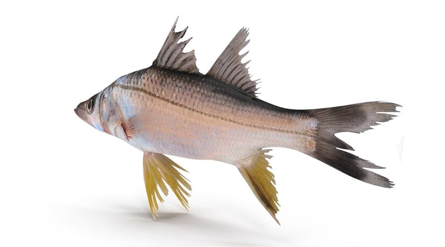 Yellowfin Snook royalty-free 3d model - Preview no. 3