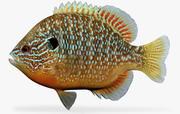 Lepomis megalotis Longear Sunfish macho modelo 3d
