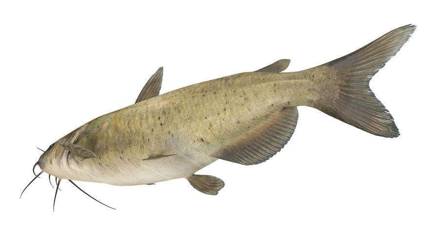 Channel Catfish royalty-free 3d model - Preview no. 5