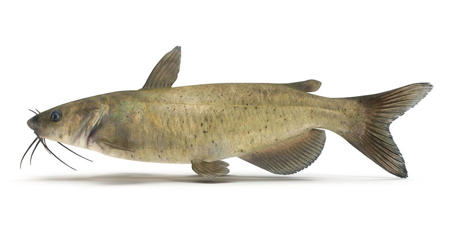 Channel Catfish royalty-free 3d model - Preview no. 3