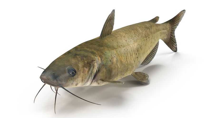 Channel Catfish royalty-free 3d model - Preview no. 8