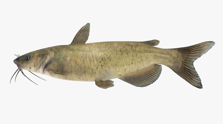 Channel Catfish royalty-free 3d model - Preview no. 2