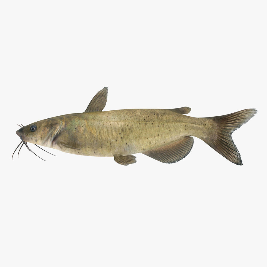 Channel Catfish royalty-free 3d model - Preview no. 1