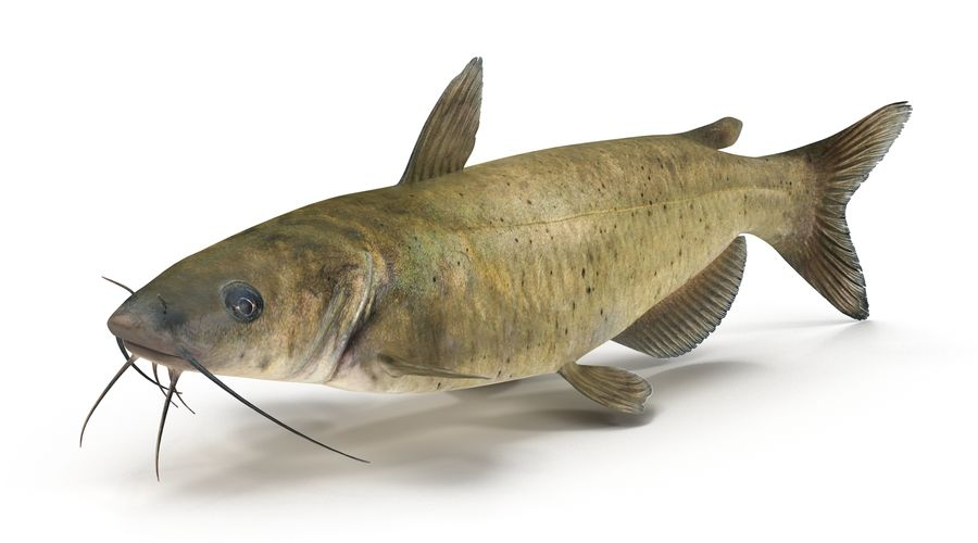 Channel Catfish royalty-free 3d model - Preview no. 4