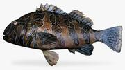 Giant Hawkfish 3d model