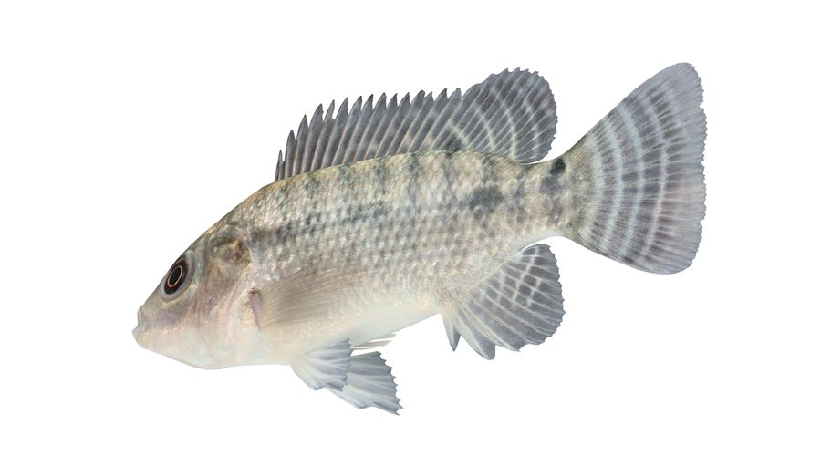 Tilapia royalty-free 3d model - Preview no. 5
