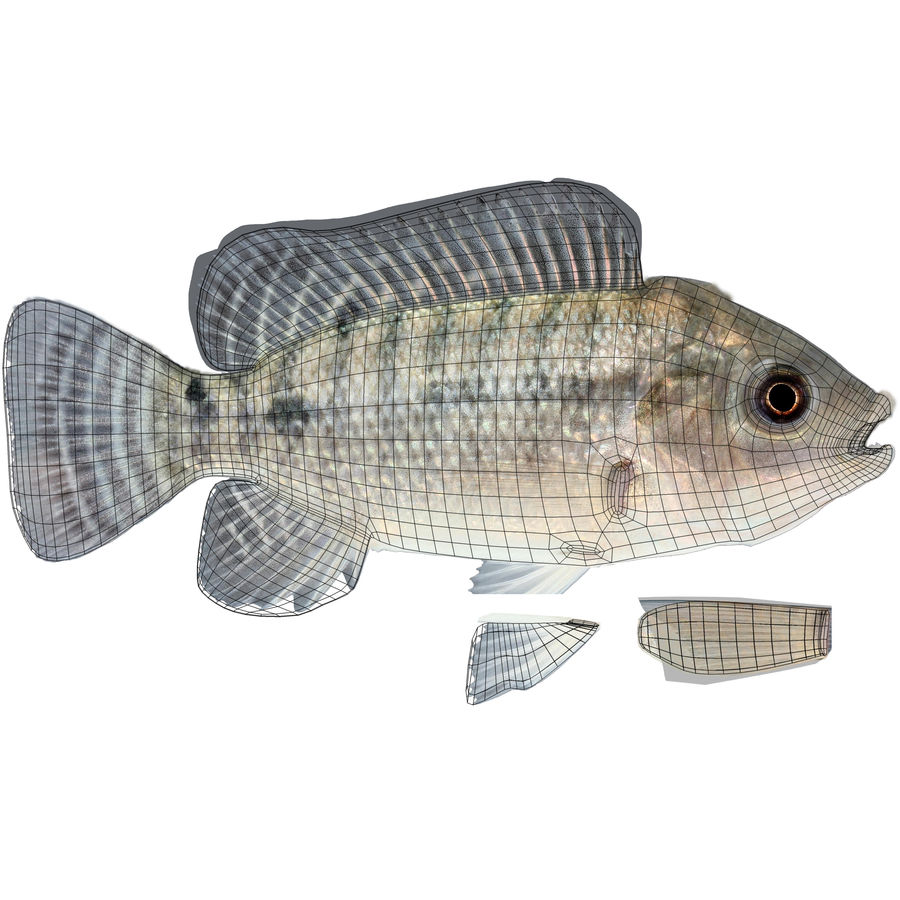 Tilapia royalty-free 3d model - Preview no. 12