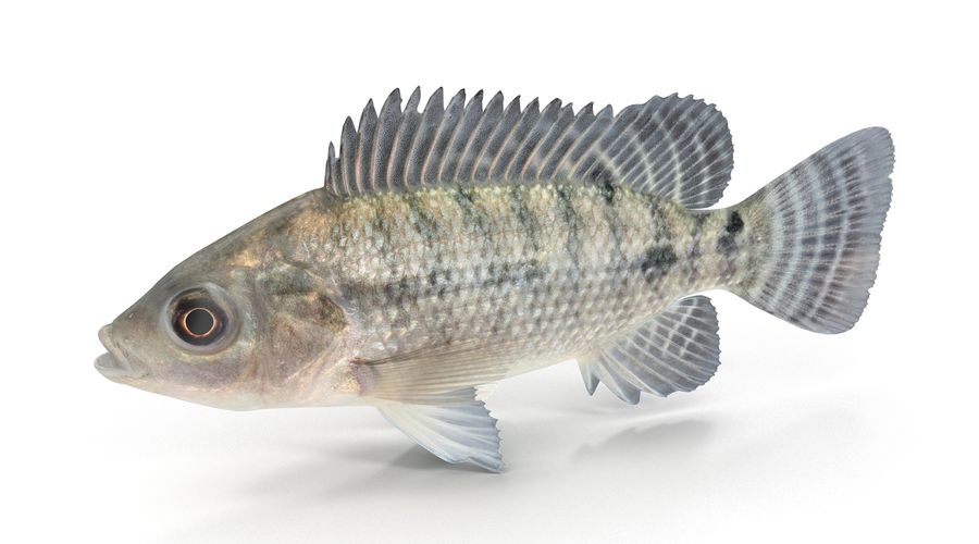 Tilapia royalty-free 3d model - Preview no. 4