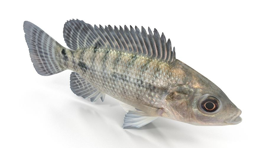Tilapia royalty-free 3d model - Preview no. 7
