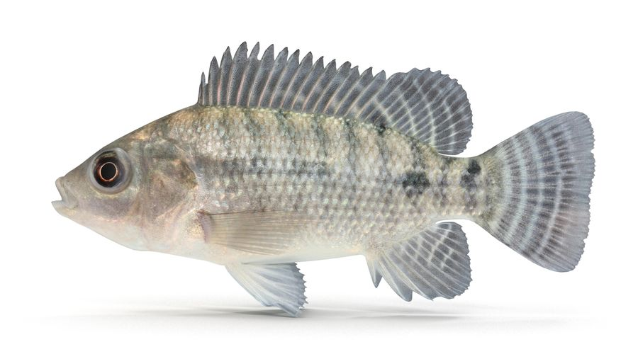 Tilapia royalty-free 3d model - Preview no. 3