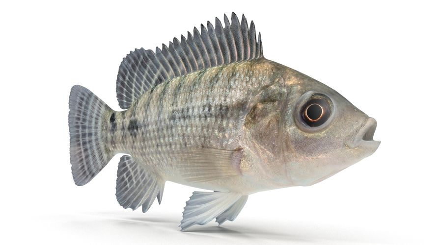 Tilapia royalty-free 3d model - Preview no. 6
