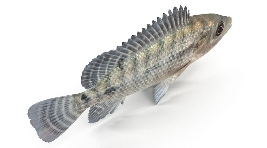 Tilapia royalty-free 3d model - Preview no. 8