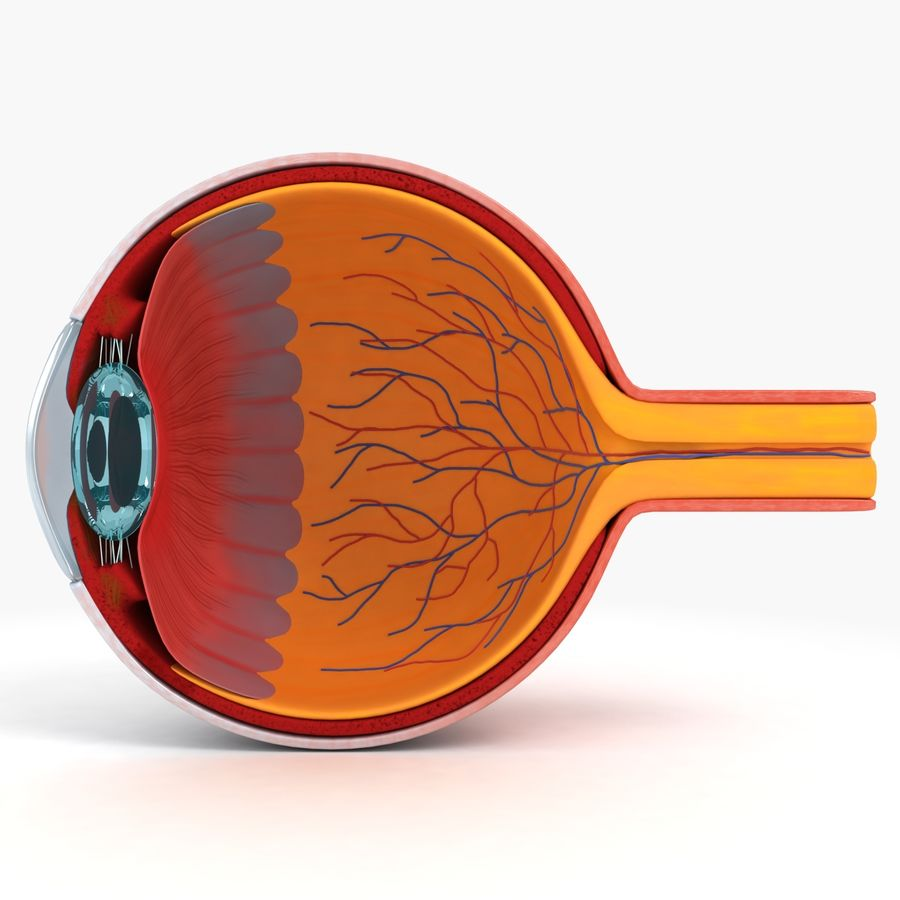 eye anatomy royalty-free 3d model - Preview no. 1