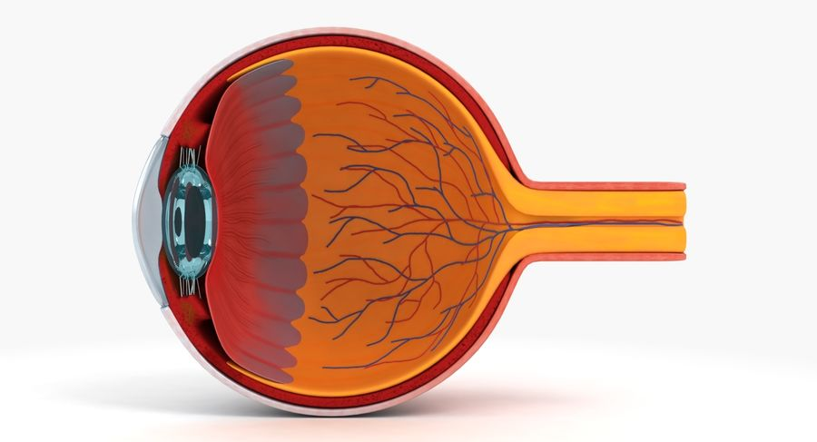 eye anatomy royalty-free 3d model - Preview no. 2