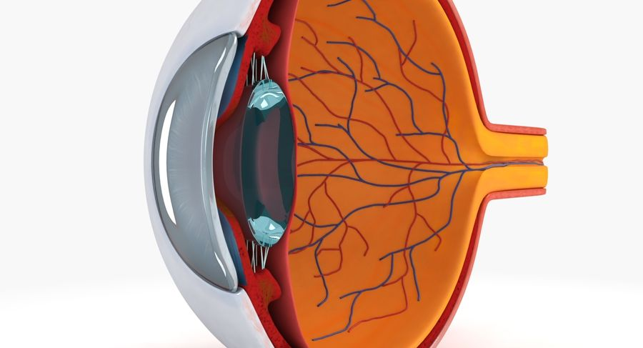 eye anatomy royalty-free 3d model - Preview no. 4