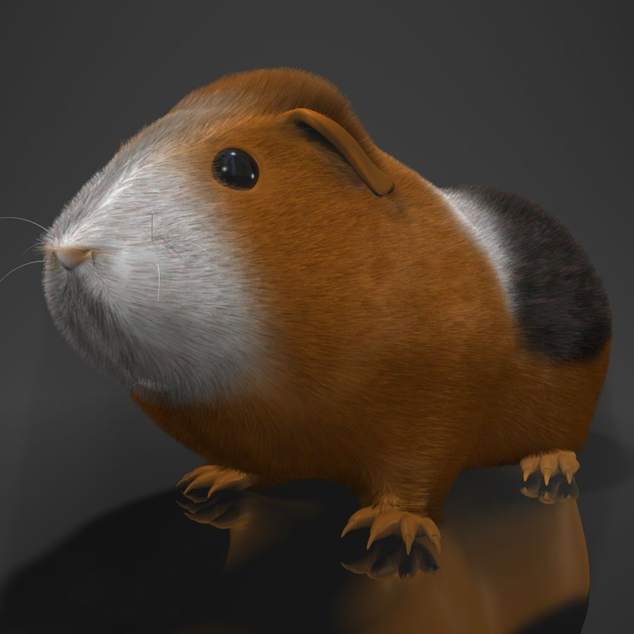 Świnka morska (Cavia porcellus) Rigged royalty-free 3d model - Preview no. 5