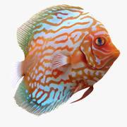 Symphysodon Fish Pose 2 3d model